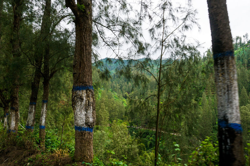 Forest, Mount Bromo. Tree Plant Forest Tree Trunk Trunk Land Nature No People Day WoodLand Tranquility Growth Tranquil Scene Environment Outdoors Non-urban Scene Travel Destinations Sky Water Beauty In Nature Bromo Bromo-tengger-semeru National Park Bromo Mountain