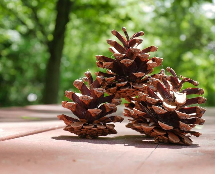 Fun Holiday Travel Photography Beauty In Nature Brown Close-up Coniferous Tree Day Destinations Focus On Foreground Freshness Green Color Growth Natural Pattern Nature No People Outdoors Panasonic Lumix Dmc-gx85 Photowalktheworld Pine Cone Plant Selective Focus Sunlight Table Travel Destinations Tree Tropical Fruit Wellbeing