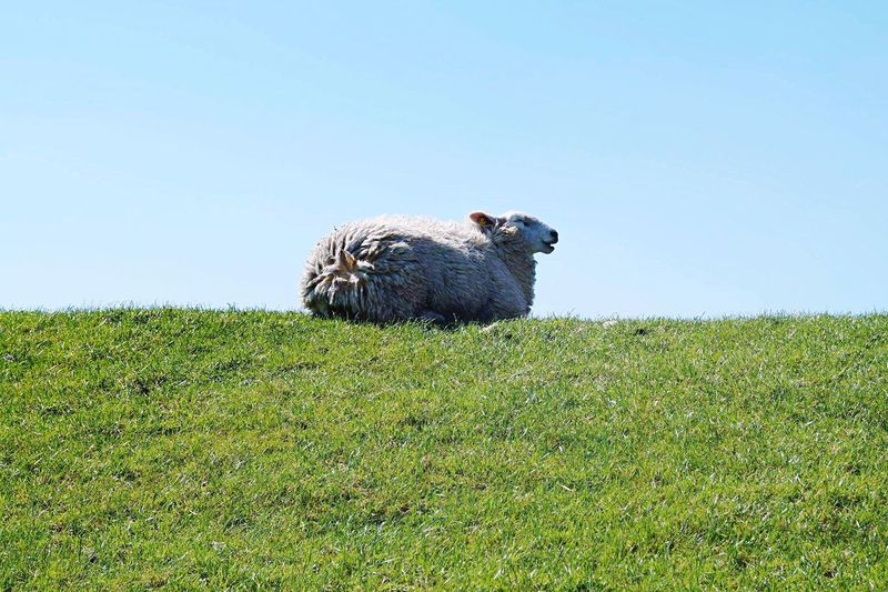 Charly Sheep or Charly Sheen? Grass Animal Themes One Animal Clear Sky Nature Mammal Outdoors Landscape Beauty In Nature Backgrounds Sheep Sheepworld Deich  Chill Mode Charly Sheen Charly Sheep