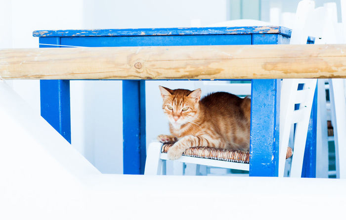 Cat on a chair, Naxos Island Architecture Islands Naxos Vacations Blue Blue Table Cat Cyclades Day Domestic Domestic Animals Domestic Cat Feline Ginger Cat Greece Indoors  No People Pets Railing Relaxation Seat Sitting Summer White Background Wood - Material