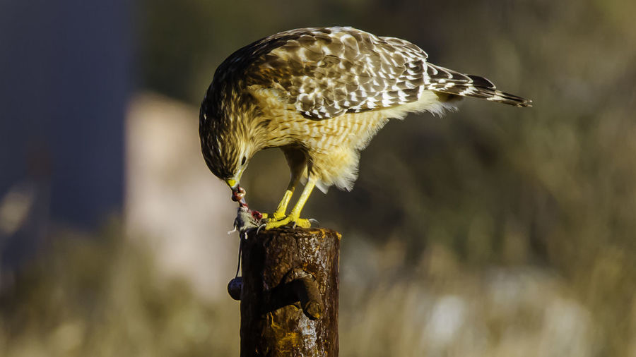 Eating Prey Entrails T\AMROM600MM WithMyTamron Animal Themes Animal Wildlife Animals In The Wild Bird Bird Of Prey Close-up Day Focus On Foreground Foodchain Nature No People One Animal Outdoors Perching Red Shouldered Hawk Tamronusa Wooden Post