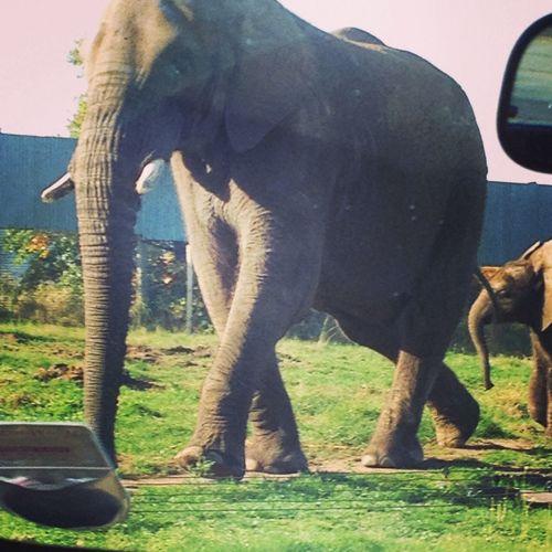 Elephant Westmidlandssafari Animals