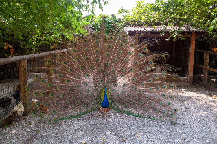 View of peacock on street amidst trees