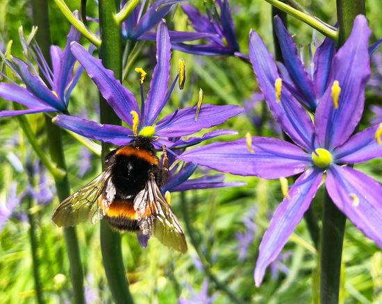 Bee on a spring flower Animal Animal Themes Animal Wildlife Animals In The Wild Beauty In Nature Bee Bumblebee Close-up Flower Flower Head Flowering Plant Fragility Freshness Growth Insect Invertebrate No People One Animal Petal Plant Pollen Pollination Purple Vulnerability