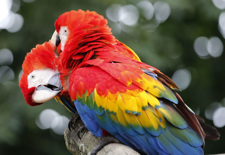 Close-up of scarlet macaws on branch