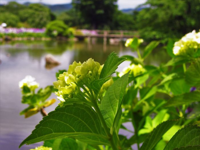 Hydrangea Nature Close-up Flower Flowering Plant Green Color Growth Leaf Nature No People Outdoors Plant Water