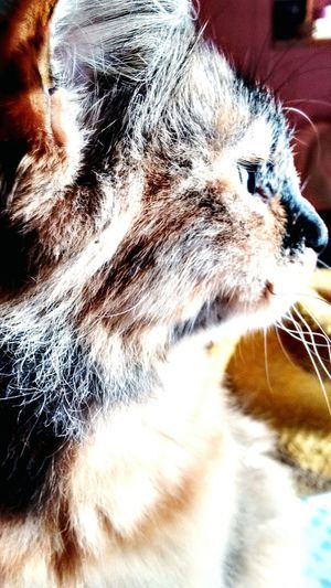 Pets Domestic Cat Domestic Animals One Animal Feline Close-up Gatoslindos Pets Photography Whisker The Great Outdoors - 2017 EyeEm Awards Brasil ♥ BYOPaper! Porto Alegre EyeEmNewHere Cat Sophia ❤️️ Outdoors Animal Themes No People Landscape Mammal Animal Head  Animal Eye Eye Indoors