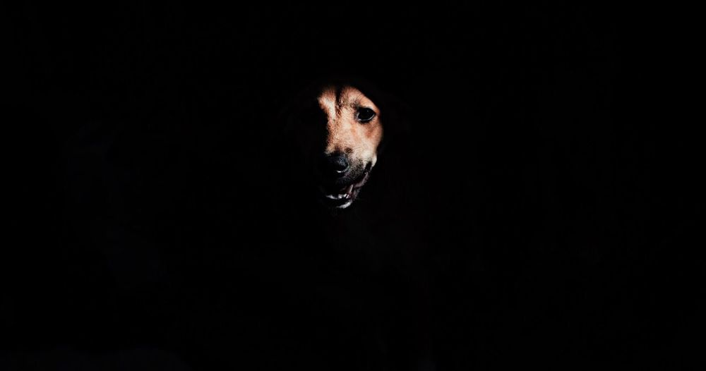 Portrait Of Dog Against Black Background