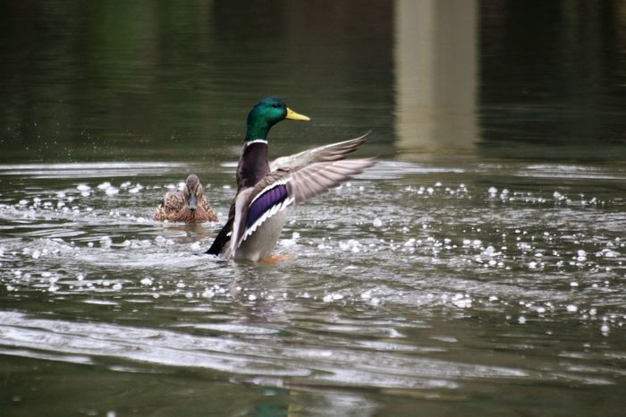 Animal Themes Animal Wildlife Animals In The Wild Beauty In Nature Bird Day Flapping Nature No People One Animal Outdoors River Splashing Spread Wings Surrey Countryside Water Waterfront Wey