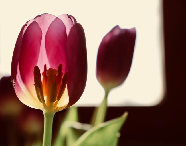 Anther Tulips Beauty In Nature Blooming Blooming Flower Close-up Flower Flower Head Flower Heads Focus On Foreground Fragility Freshness Growth Home Decor Macro Nature Nature Nature Black&white Petal Plant Pollen Screensaver Spring Flowers Stamen Tulip Tulip Head