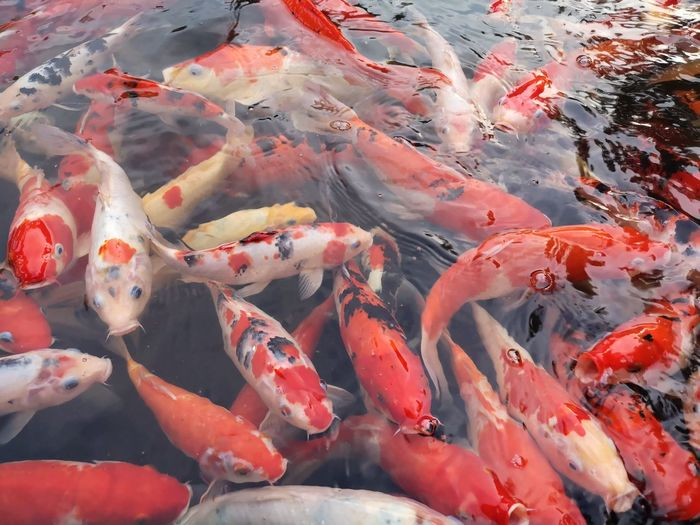 UnderSea Sea Life Seafood Fish Animal Themes Close-up Koi Carp Pond Carp Water Lily Amphibian Fishing Industry School Of Fish Floating Swimming