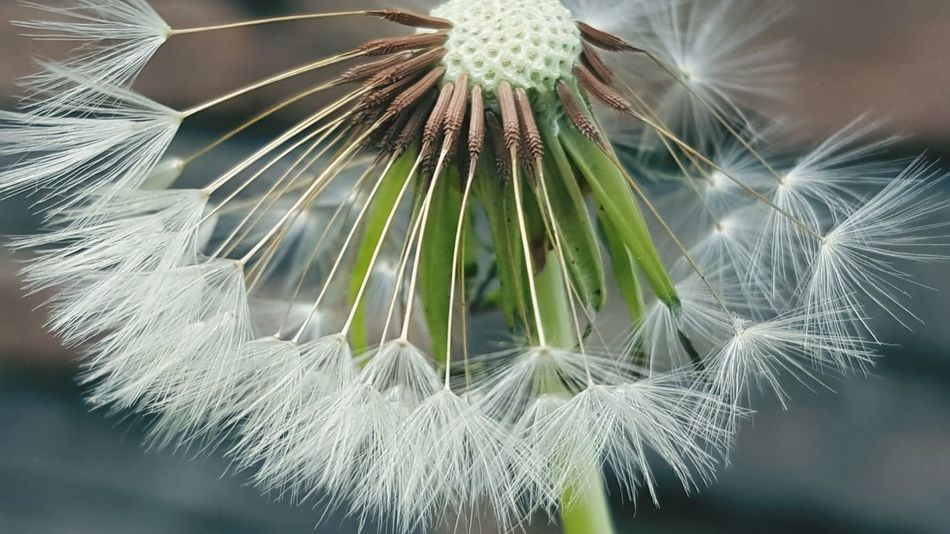 Macro shot of dandelion Fragility Flower Growth Nature Softness Close-up Freshness Beauty In Nature No People Day Outdoors Dandilion Seed Wishes In The Wind Wishesanddreams Wishful