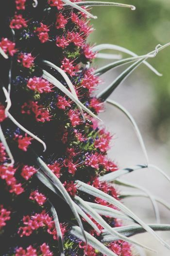 Plant Red Flower Nature Growth No People Outdoors Living Organism Day Beauty In Nature Fragility Close-up Freshness Tenerife Teide Tajinaste Bee 🐝