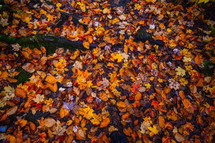 Autumn Leaf Plant Part Full Frame Change Backgrounds Orange Color Leaves No People Beauty In Nature Nature Abundance Day Dry High Angle View Yellow Maple Leaf Falling Close-up Fragility Outdoors Autumn Collection Natural Condition Fall