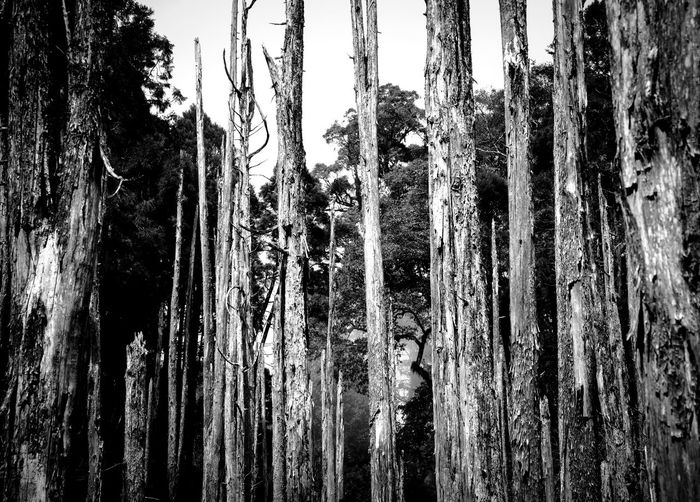 tree memories series Beauty In Nature Blackandwhite Close-up Day Forest Photography Low Angle View Misty Nature No People Outdoors Photography Sky Tree Tree Trunk