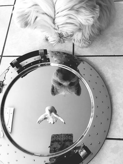 White Dogslife Dogs Of EyeEm Dog Mirror Reflection Mirror Westie West Highland White Terrier Lifestyles Geometric Shape Circle Shape Day High Angle View Directly Above Outdoors Nature Water Adult Architecture Built Structure Leisure Activity