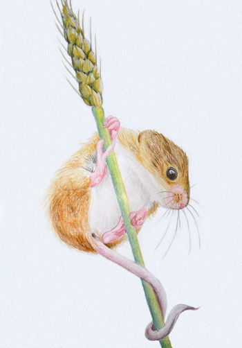 Field mouse colour pencil drawing Art Art And Craft Art, Drawing, Creativity Artist ArtWork Draw Drawing Drawing ✏ Field Mouse Fieldmouse Mouse Mouse Art Mouse Drawing Mouse🐹 Pastel Pastel Art Pastels Pet Portrait Pet Portraits Rodent Wheat Wheat Field
