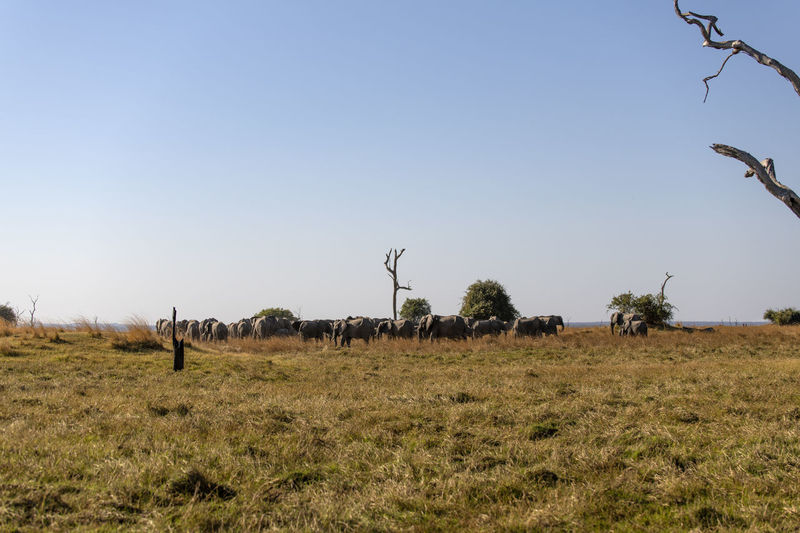 View of elephants on field against sky