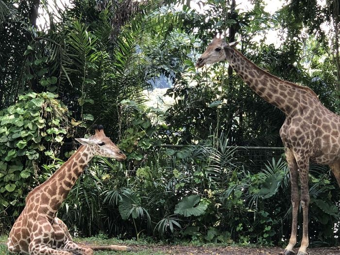 2 Giraffes! Singapore Zoo Zoo Animal Giraffe Group Of Animals Mammal Mammals No People