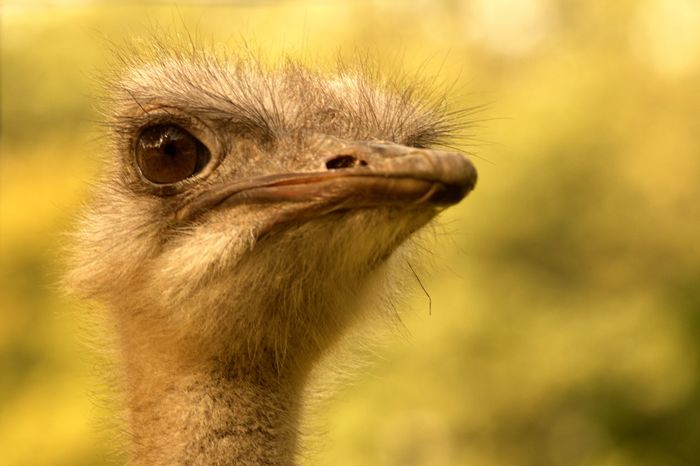 Ostrich / I called him Karl-Heinz because he reminded me of a former superior with the same name. Beak Bird Photography Birdwatching Character Heads Critical Emu Hello World Karl  Animal Head  Animal Themes Animal Wildlife Animals In The Wild Attention Sign Beak Bird Birds_collection Close-up Day Heinz Nature Pet Portraits One Animal Ostrich Outdoors Portrait