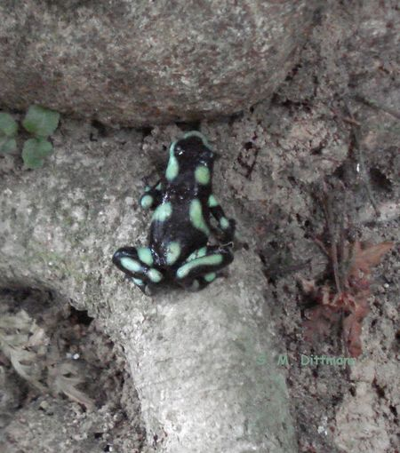 Arrow Poison Frog Costa Rica Frog Animal Themes Animal Wildlife Animals In The Wild Nature No People One Animal Outdoors