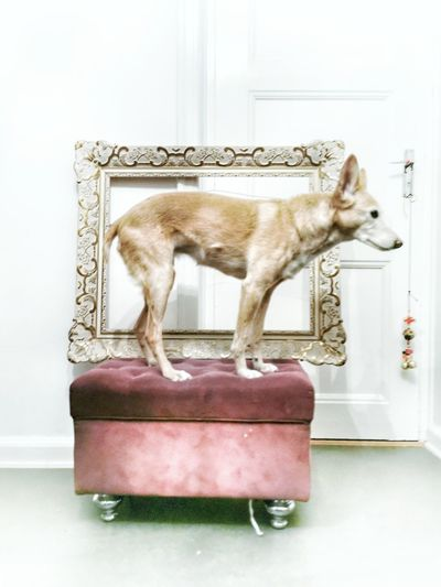 SHIVA Pets Dog