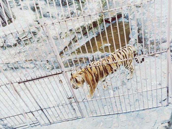 🐯🐯🐯🐯 Hi! Tiger Zoo