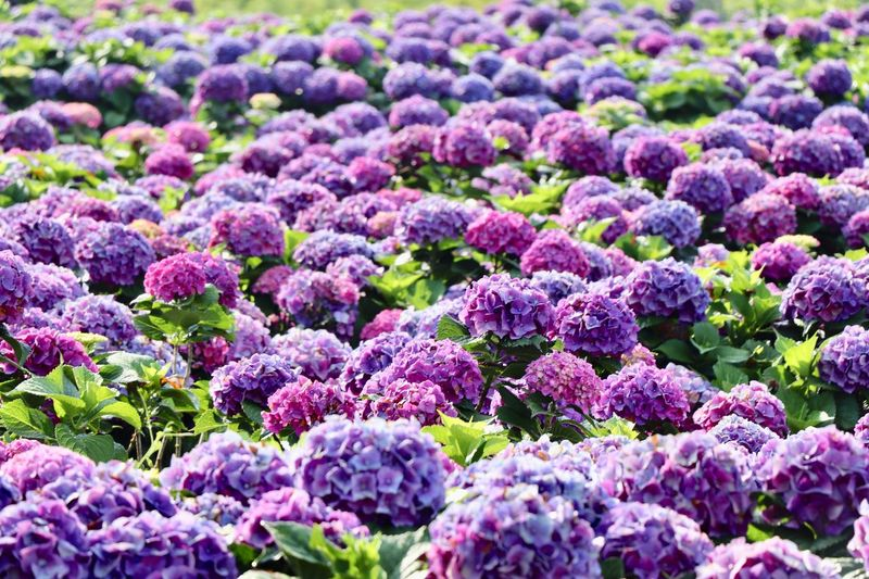 Hydrangea Flower Plant Flower Flowering Plant Growth Purple Full Frame Beauty In Nature Nature No People Day Backgrounds Pink Color