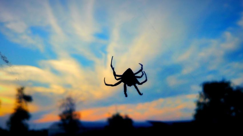 Spider Taking Photos Beautiful View.. Sunset Silhouettes Beautuful Sunset