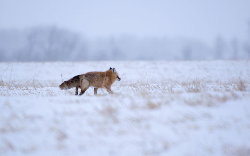 Side view of fox walking on snowy land during winter