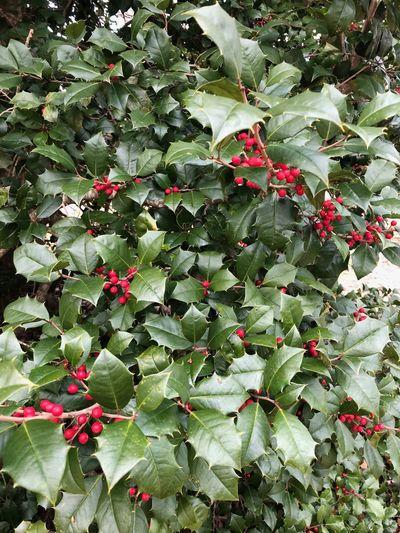 Wild holly bush. Leaf Plant Growth Green Color Flowering Plant