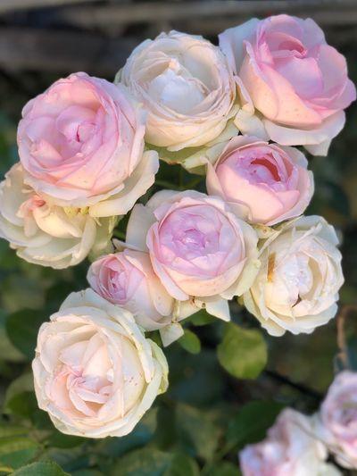 Rosen Roses