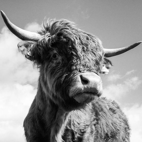 The best kind of portrait Eye Em Scotland Scotland HighlandCows Black & White