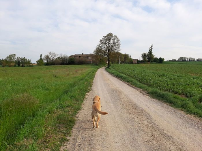 Dogs Labrador One Animal Animals In The Wild Country Pets Dog Tree Sky Grass Agricultural Field Cultivated Land Pet Equipment Yorkshire Terrier Plantation Pug Crop  Ear Of Wheat Farmland Farm Tea Crop Terrier Pet Leash Leash Terraced Field Vineyard Plough Lap Dog Growing Rice Paddy
