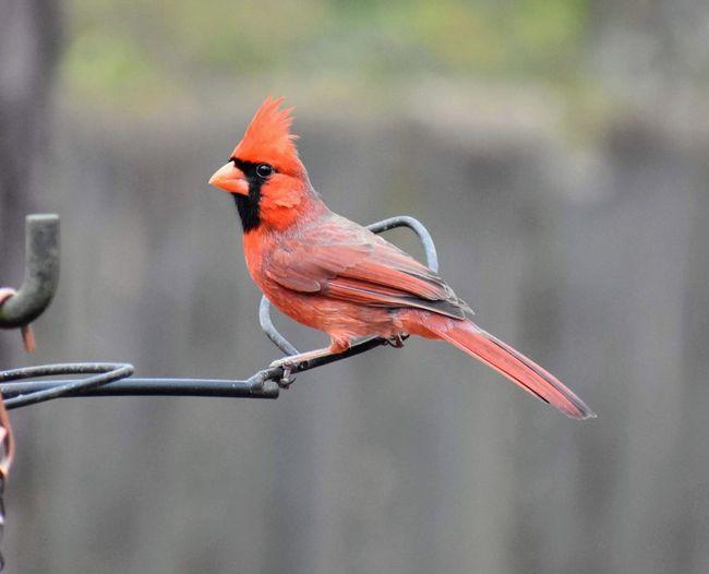 Close-up of cardinal perching on metal