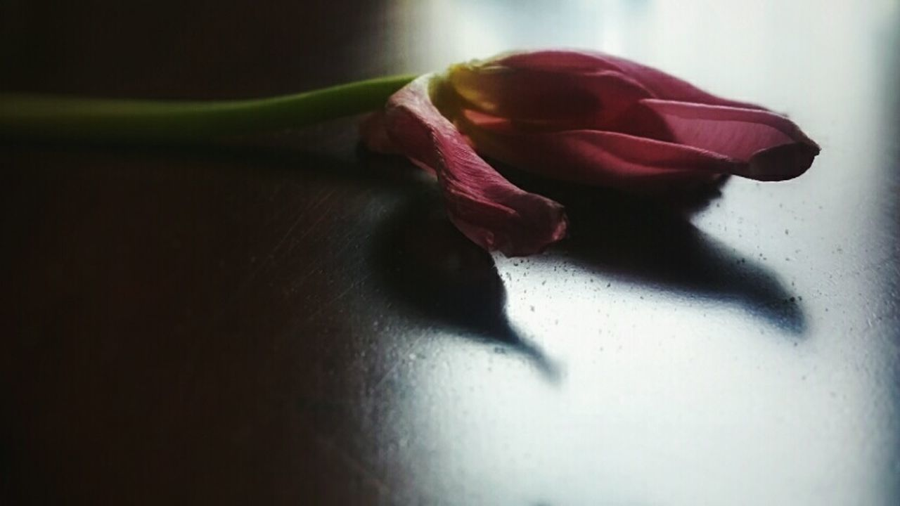 flower, fragility, petal, close-up, indoors, flower head, beauty in nature, rose - flower, table, freshness, nature, shadow, no people, day
