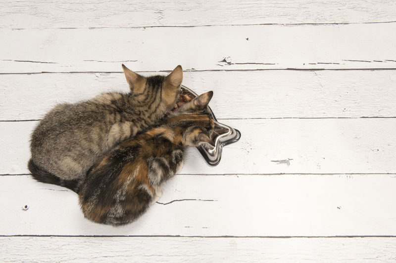 Two kittens eating meat out of a bowl seen from a high angle view on a white wooden floor Copy Space Kittens Animals Cats Domestic Cat Eat Feline Fresh Market High Angle View Pets Top View White Wooden Floor