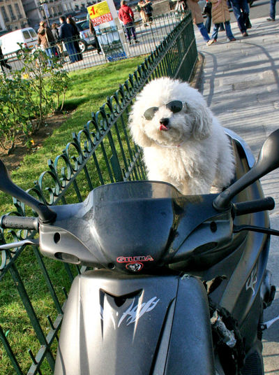 Paris Pet Portraits Scooter Animal Themes Dog Dog On A Scooter Dog With Sunglasses Domestic Animals Mode Of Transport Motorcycle Pets Sitting Transportation