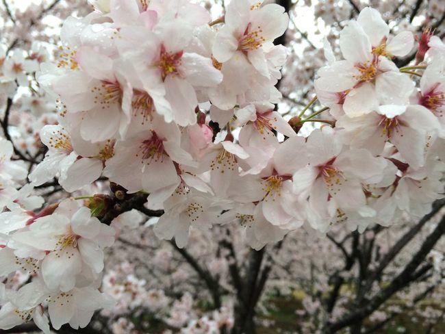 桜 染井吉野