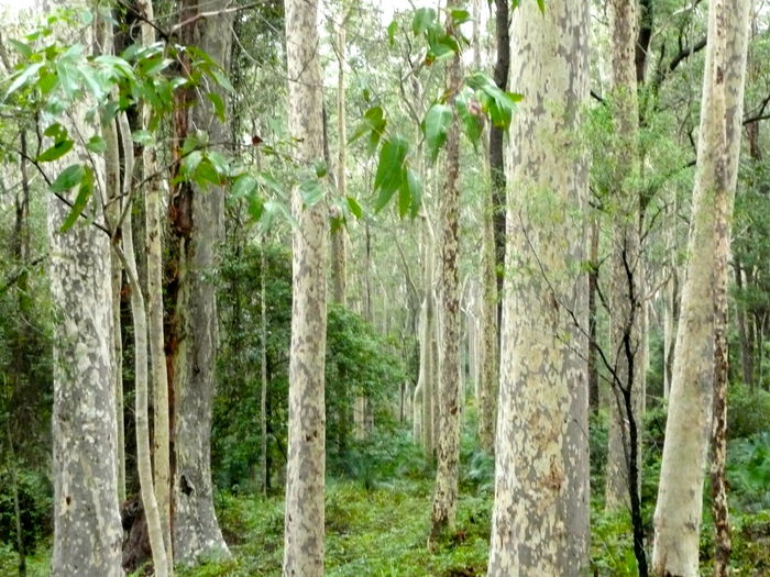 Australian Forest Forest Green Color Growth Lush Forest Nature Near Sydney No People Outdoors Rain Forest Rain Forest Plants Spotted Eucalyptus Trees Tree Tree Trunk