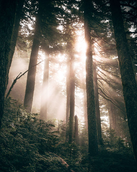 Behind the Sun Dark Forest Hiking Magical Seattle Sunrays Beauty In Nature Branch Day Fog Forest Forest Photography Growth Landscape Low Angle View Mist Moody Nature No People Outdoors Scenics Tranquil Scene Tranquility Tree Tree Trunk WoodLand