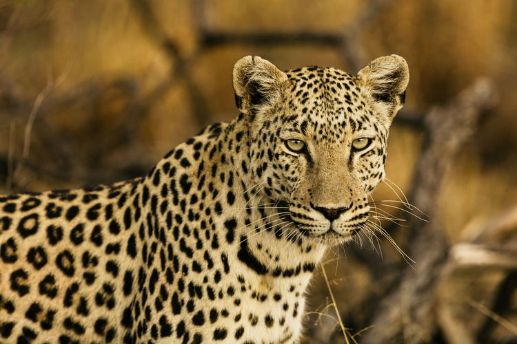 Africa Namibia Animal Wildlife Animal Themes Animal Animals In The Wild One Animal Big Cat Feline Mammal Cat Focus On Foreground Leopard No People Carnivora Vertebrate Day Looking Nature Portrait Spotted Outdoors Whisker Animal Head  Undomesticated Cat Cheetah