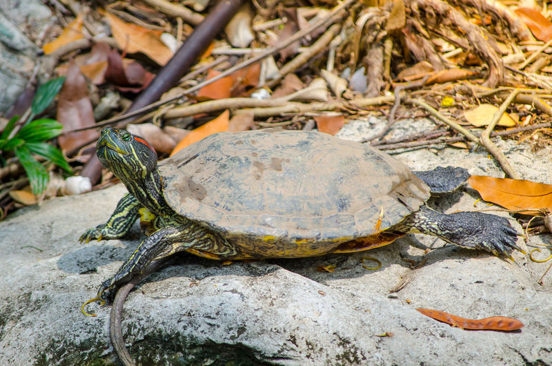 Cute red-eared slider turtle resting on the rock. Alone Zoo Animal Wildlife Close-up Cute Day Nature One Animal Outdoor Red-eared Slider Reptile Resting Rock Shell Tortoise Turtle