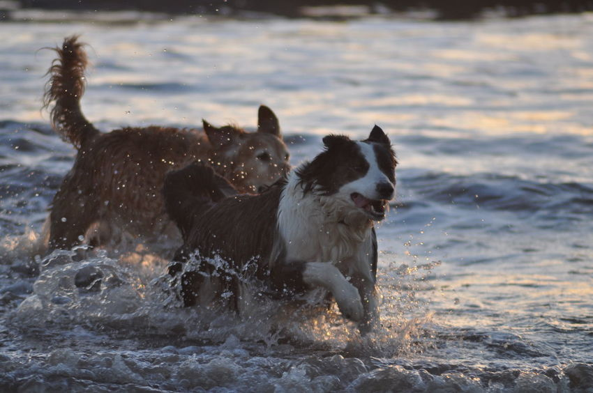 Mammal Pets Domestic Animals Water Wet Animal Themes Motion No People Splashing Dog Sea Nature Outdoors Day Sea Golden Retriever Collie Dogs Dog In Surf Dogs Running At Beach Dusk