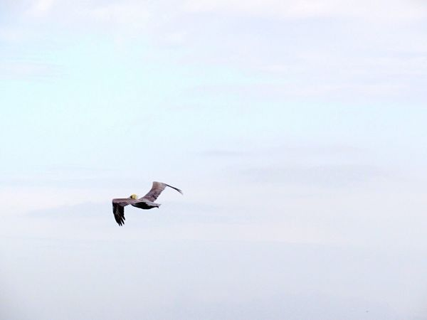 Pelican Flying High Taking Photos Rockport Texas