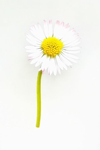 Daisy Flower White Background Studio Shot Fragility Petal Freshness Beauty In Nature Flower Head Nature White Close-up Daisy No People From Above