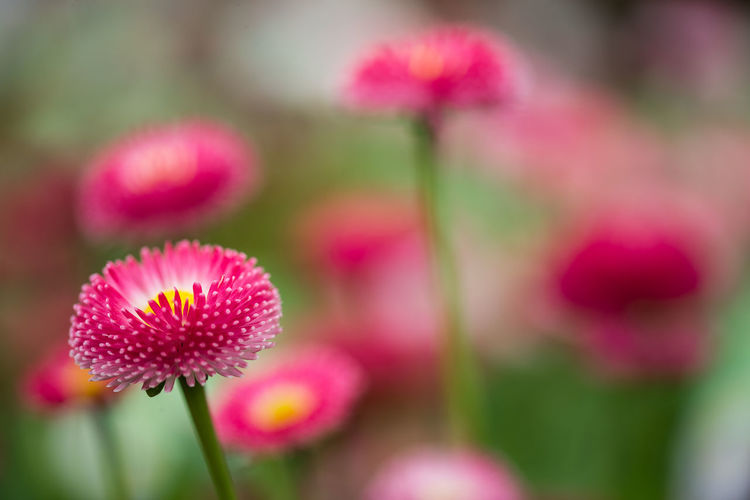 Daisy Beauty In Nature Bellis Perennis Blooming Botanical Close-up English Daisy Flora Flower Flower Head Focus On Foreground Freshness Growth Habanera Nature Outdoors Petal Pink Color Pomponette