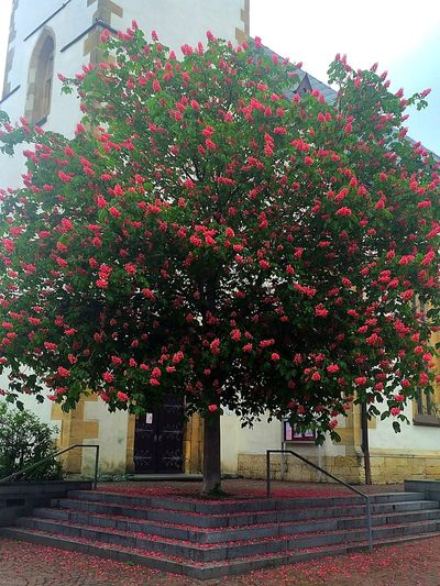 Flowering Tree Tree In Front Of Church Church Blooming Flower Spring Summer Check This Out Enjoying Life Nature_collection Nature Photography Enjoying Nature