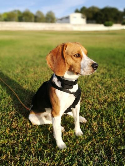 Beagle in the