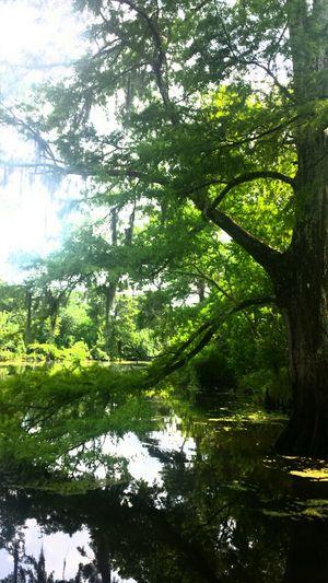 Nature Louisiana Swamp